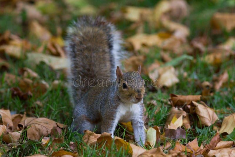 Graues Eichhörnchen im Herbstpark, Telefoto stockfotos