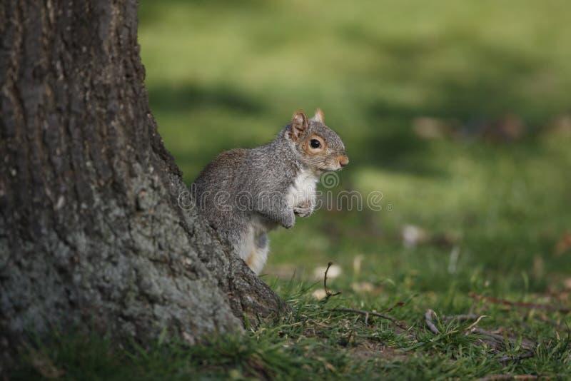 Graues Eichhörnchen, Sciurus carolinensis lizenzfreie stockfotos