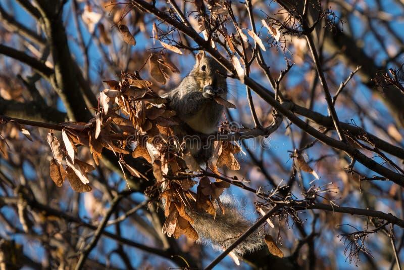 Graues Eichhörnchen/Sciurus carolinensis im Herbst, der die geflügelten Platanensamen, umgeben durch braune Blätter isst lizenzfreie stockfotos