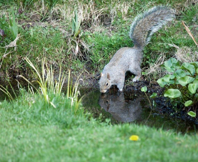 Graues Eichhörnchentrinken stockfotos