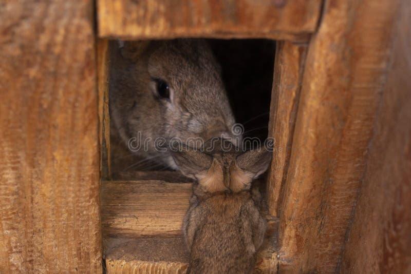 Graues Kaninchen schaut aus seinem Holzhausbaby heraus, das Kaninchen zu seiner Mutter kam lizenzfreies stockfoto