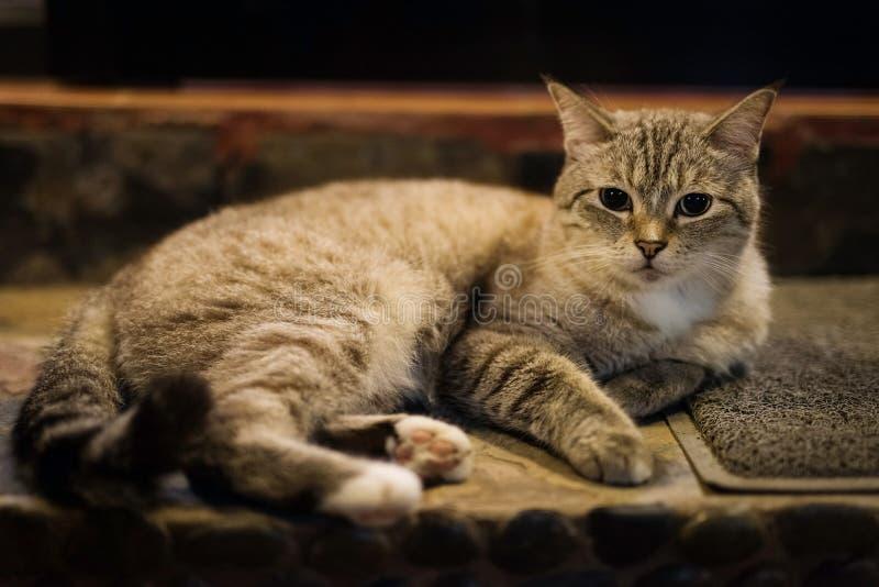 Graues Katzenporträt der netten getigerten Katze lizenzfreie stockbilder