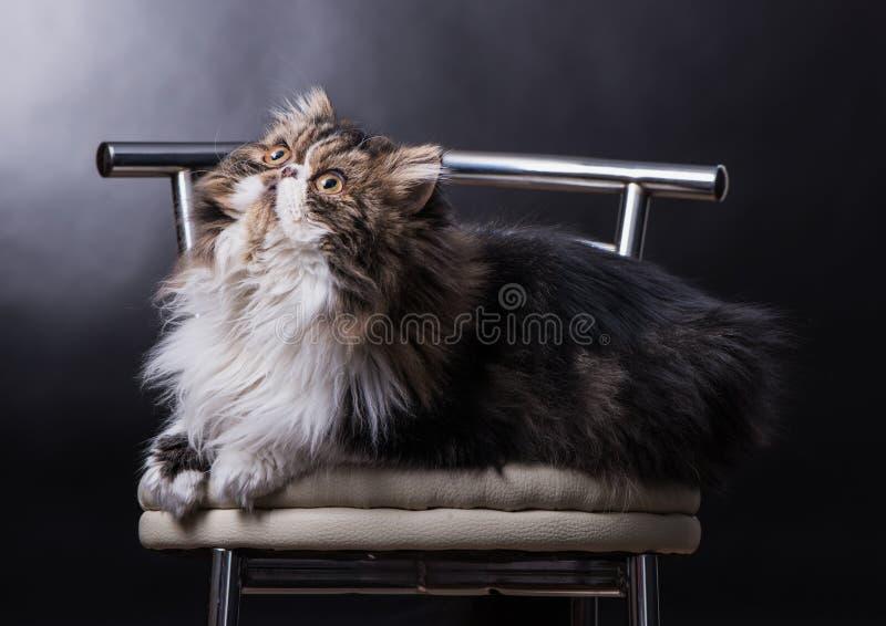 Graues kleines persisches Kätzchen kostet auf dunklem Hintergrund lizenzfreies stockfoto