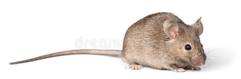 Graues Mäusetier auf Hintergrund stockfotografie
