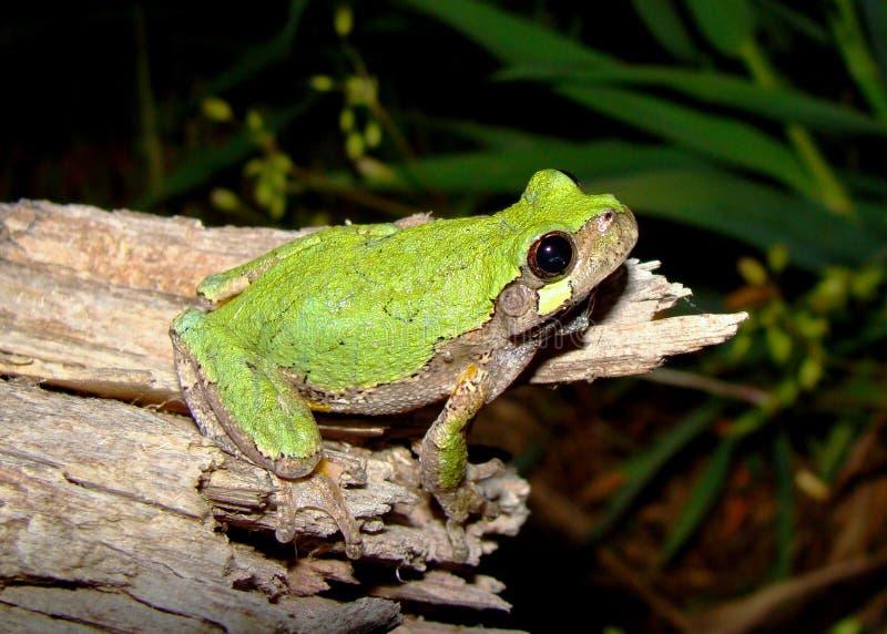 Graues Osttreefrog, Hyla versicolor stockfotos