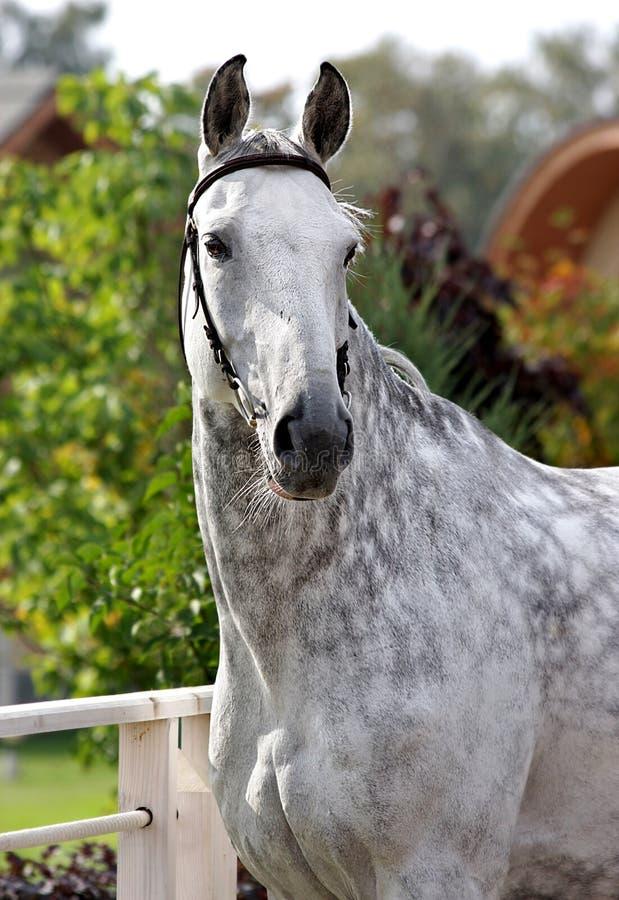Graues Pferd stockfotografie