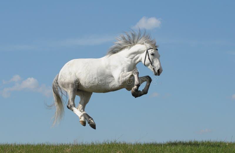 Graues Pferd stockbild