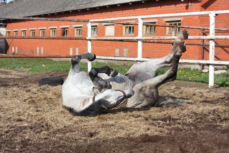 Graues Pferdenrollen aus den Grund stockfoto