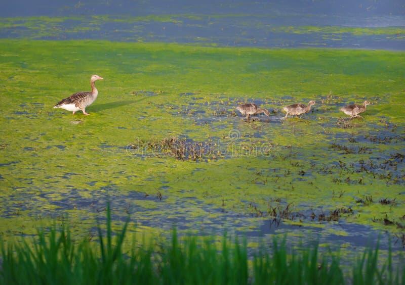 Graugans Gans und Squabs, die durch einen sumpfigen See und ein Herumsuchen watscheln lizenzfreie stockfotografie