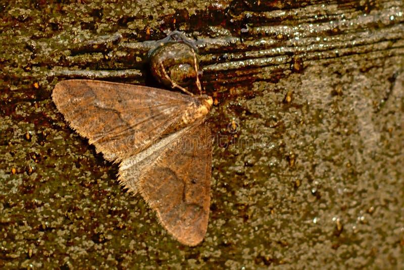 Graugelber Breitflügelspanner-Motte, die auf einem Baumstamm - Agriopis-marginaria sitzt lizenzfreies stockbild