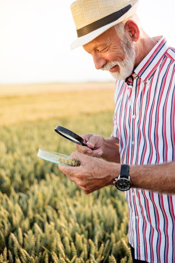 Grauhaarige Untersuchungsweizensamen des Agronomen oder des Landwirts unter der Lupe auf dem Gebiet, Blattlaus oder nach anderem  stockfotografie