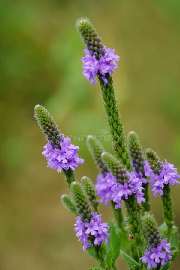 Grauhaariger Vervain-Wildflower lizenzfreies stockbild