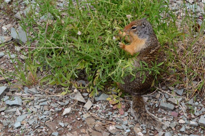 Grauhaariges Murmeltier, das einen Imbiss isst stockfotografie