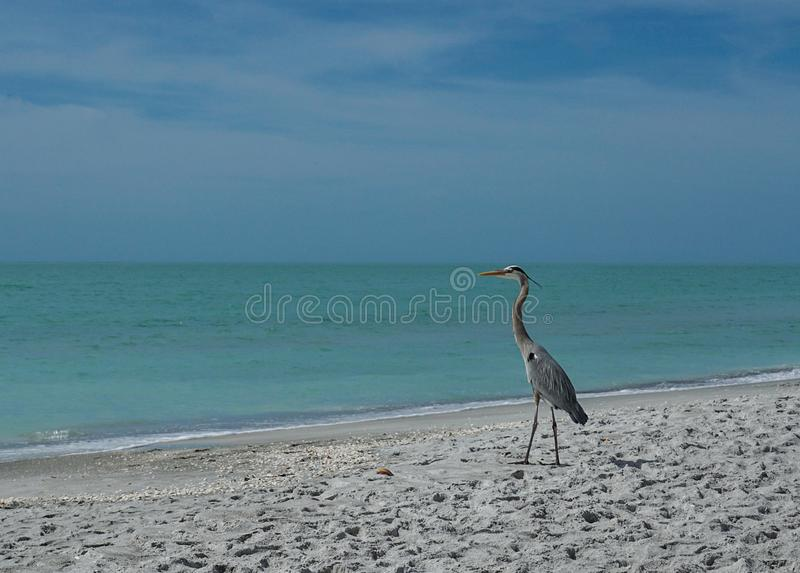 Graureiher auf dem Strand lizenzfreie stockfotos