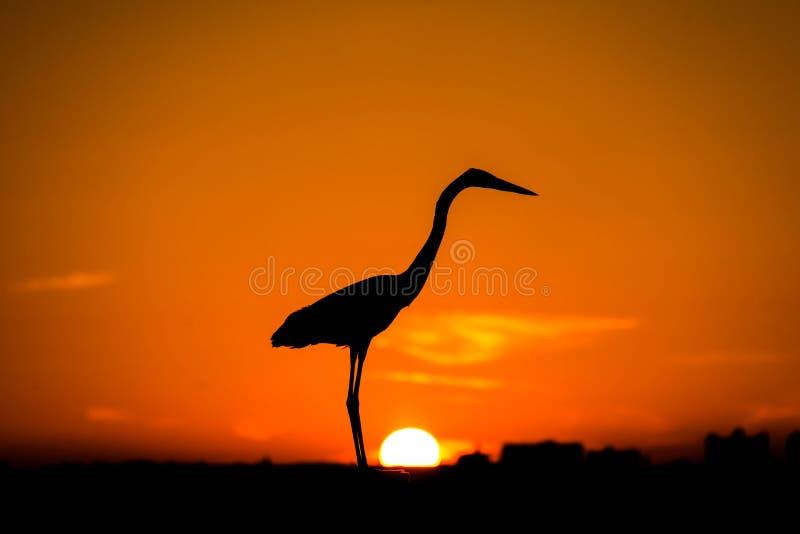 Graureiher bei dem Sonnenuntergang, Sonne an ihm ` s Füße stockfoto