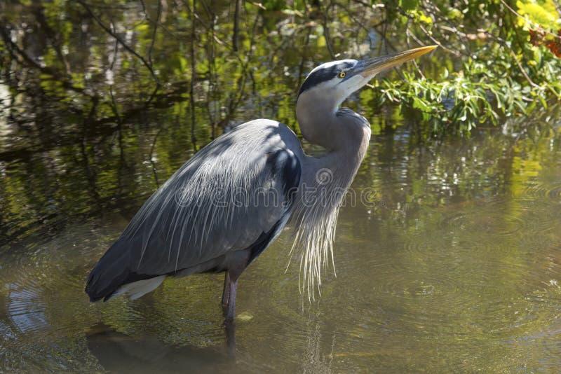 Graureiher, der in einem Sumpf in zentralem Florida steht lizenzfreie stockfotos
