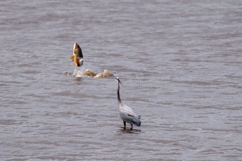 Graureiher, der einen goldenen Karpfen aufpasst, vom See herauszuspringen lizenzfreie stockfotos