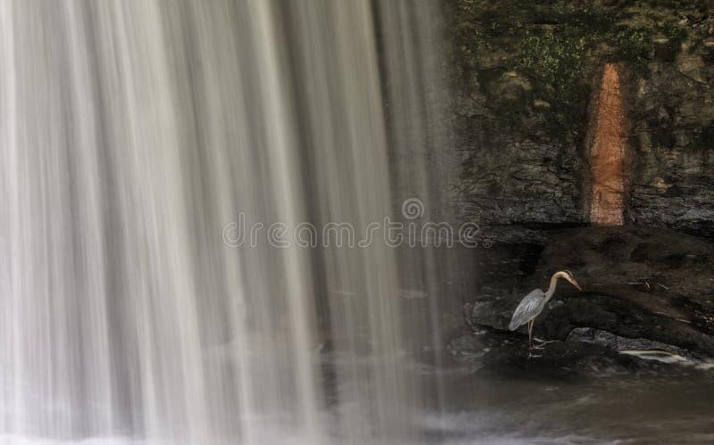 Graureiher in einem Wasserfall lizenzfreie stockfotografie