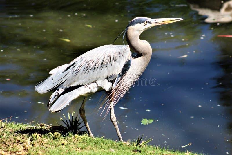 Graureiher-großer watender Vogel stockbild