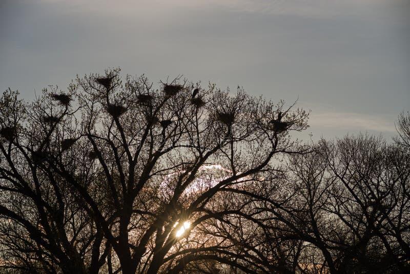Graureiher-Krähenkolonie-Schattenbild lizenzfreies stockbild