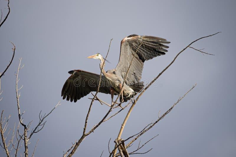 Graureiher-Landung in einem Baum stockbilder
