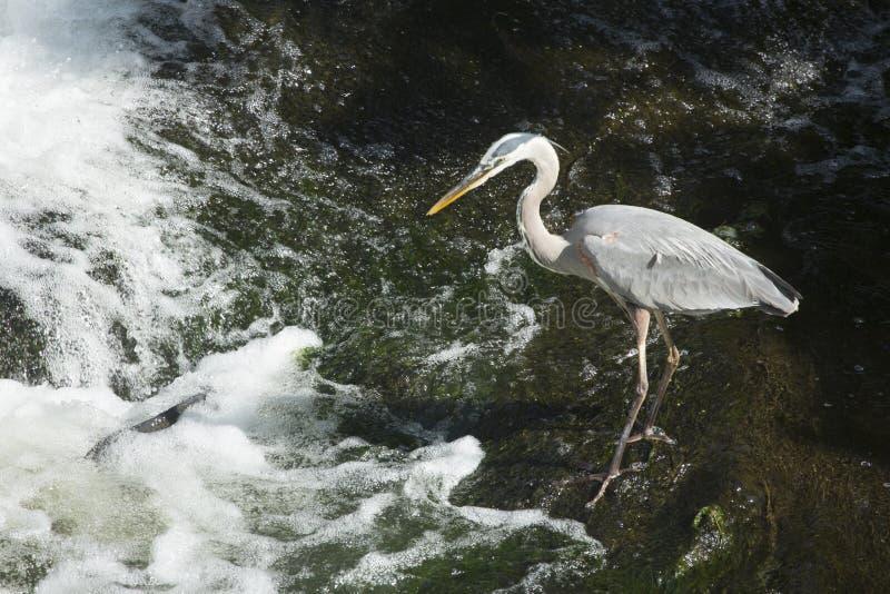Graureiher sieht einen Karpfen an der Basis des Wasserfalls lizenzfreie stockfotos