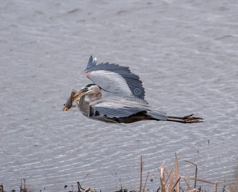 Graureiherfliegen mit einem goldenen Karpfen in ihm ist Schnabel lizenzfreie stockfotos