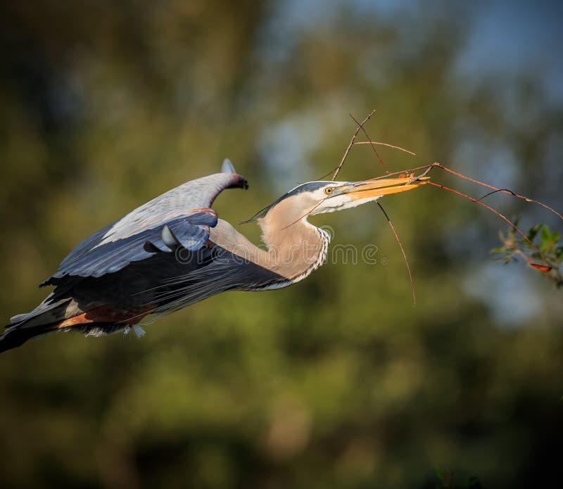 Graureiherfliegen mit Nestmaterial stockfotografie