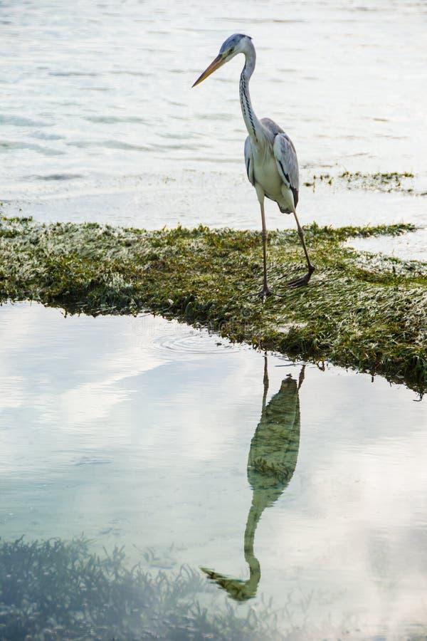 Graureiherspiegel im Wasser, Malediven stockfoto