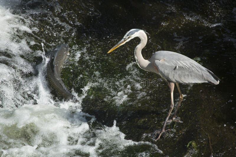 Graureihertreffen ein großer Karpfen an einem Wasserfall stockfotografie