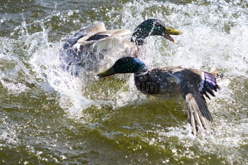 Grausamer Kampf von zwei Drake Mallard-Enten auf einem See lizenzfreie stockfotografie