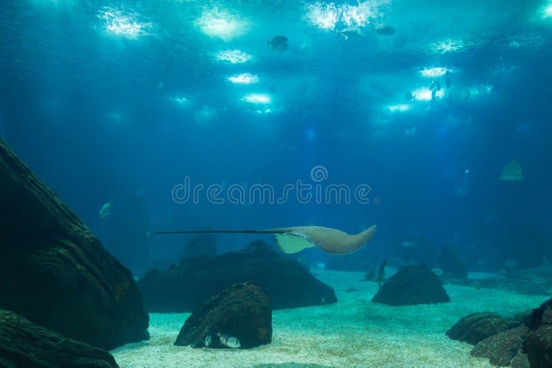 Grauwal innerhalb des schönen blauen Aquarium-Behälters stockfotografie