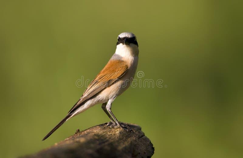 Grauwe Klauwier; Red-backed Shrike; Lanius collurio stock photos