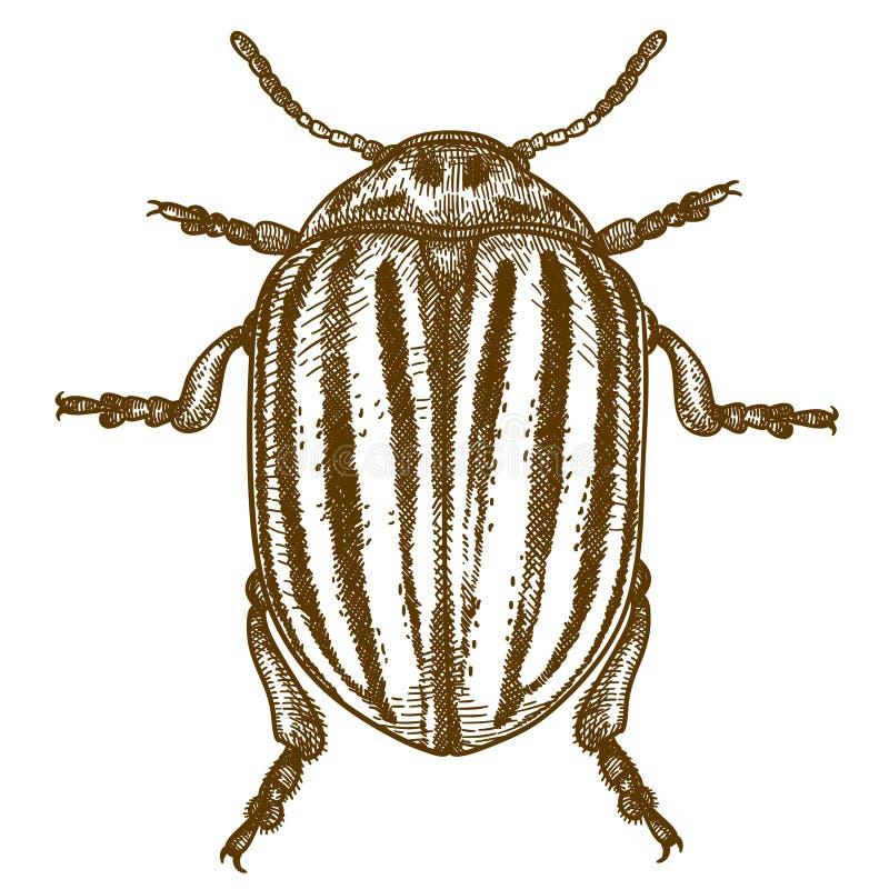 Gravando a ilustração do besouro de Colorado ilustração royalty free
