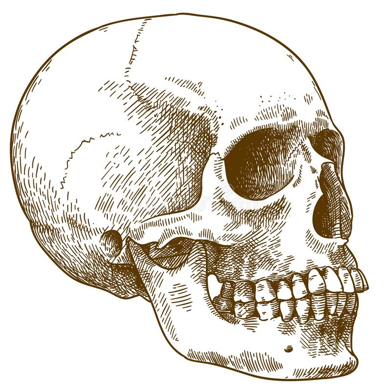 Gravando a ilustração do crânio humano ilustração stock