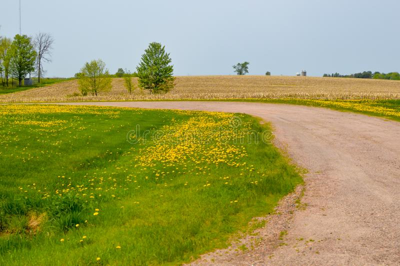 Gravel Road with Dandelions and a Cornfield royalty free stock photo