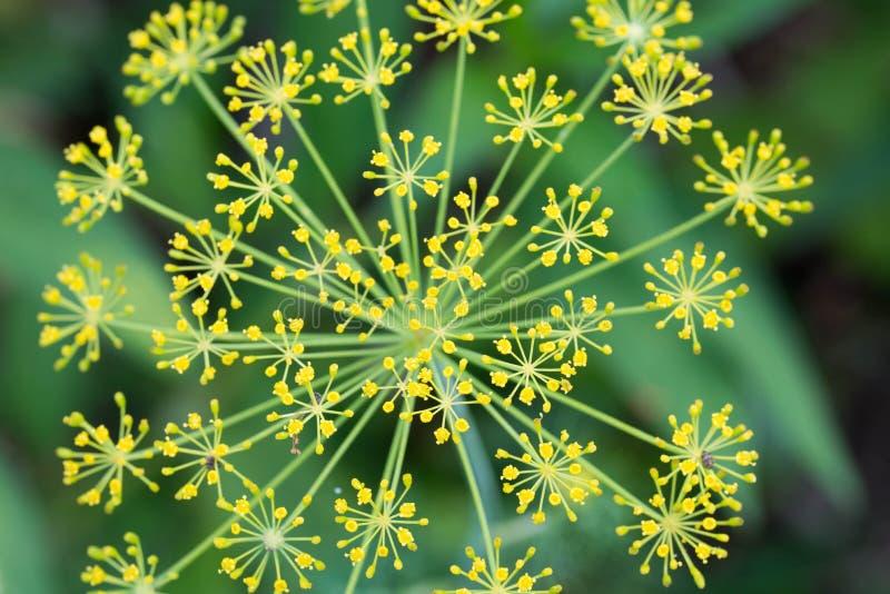 Graveolens d'Anethum, macro de fleur d'aneth photos libres de droits