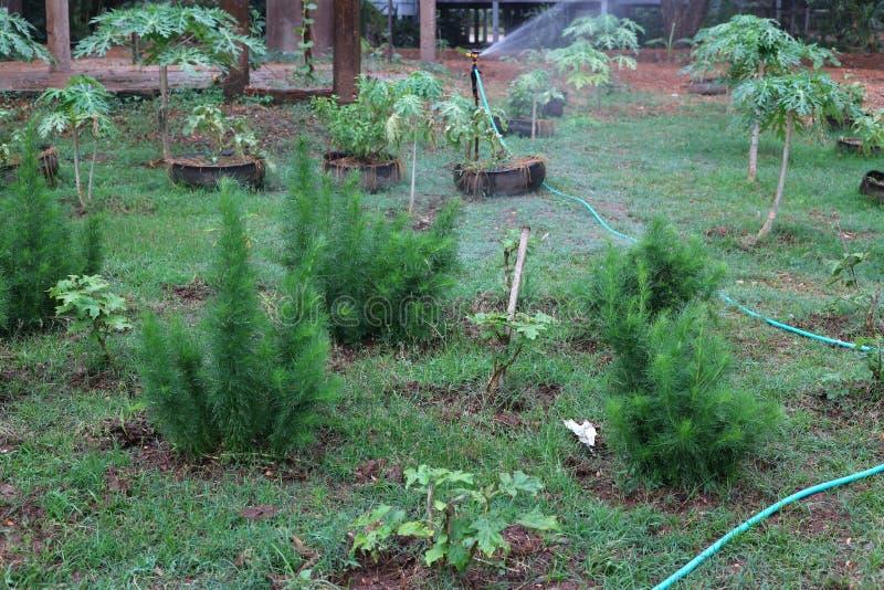 Graveolens do Anethum, legumes verdes, ervas para o jardim natural do alimento imagens de stock