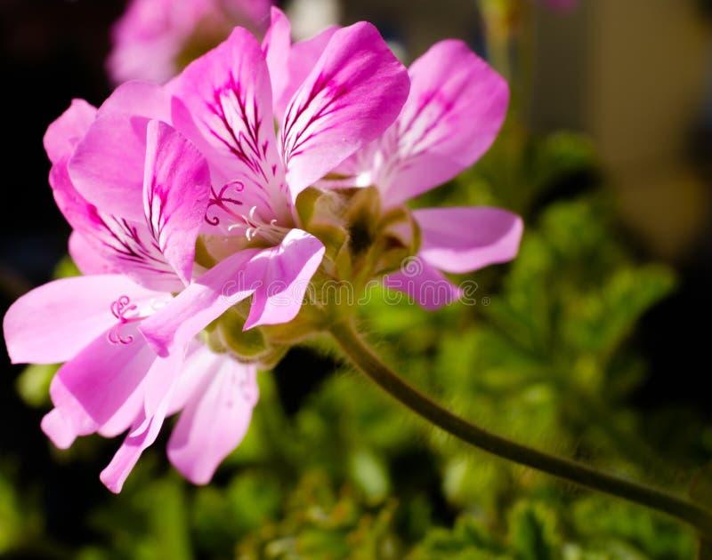 Graveolens do Pelargonium fotografia de stock royalty free
