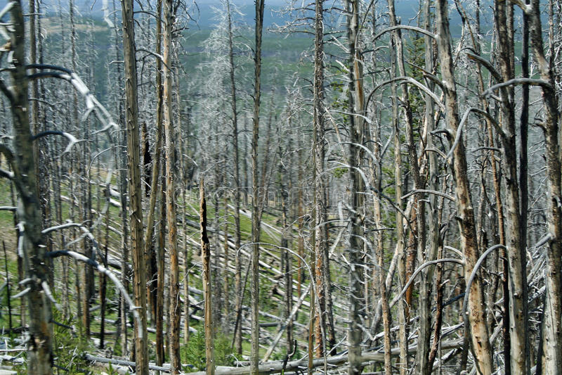 Graveyard of trees royalty free stock image