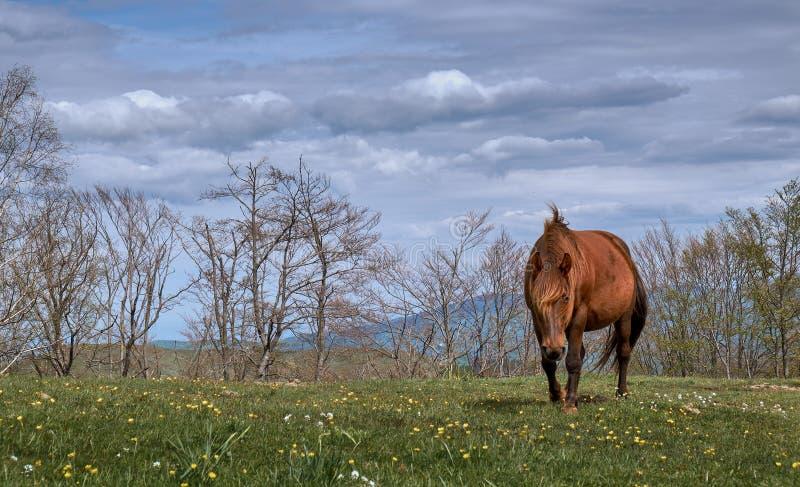 Gravid häst för löst berg arkivfoton