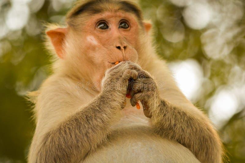 Gravid hättamacaque som äter tamoto royaltyfri fotografi