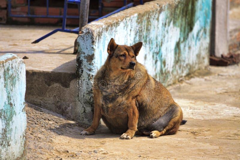 gravid hund Tjock hund fotografering för bildbyråer