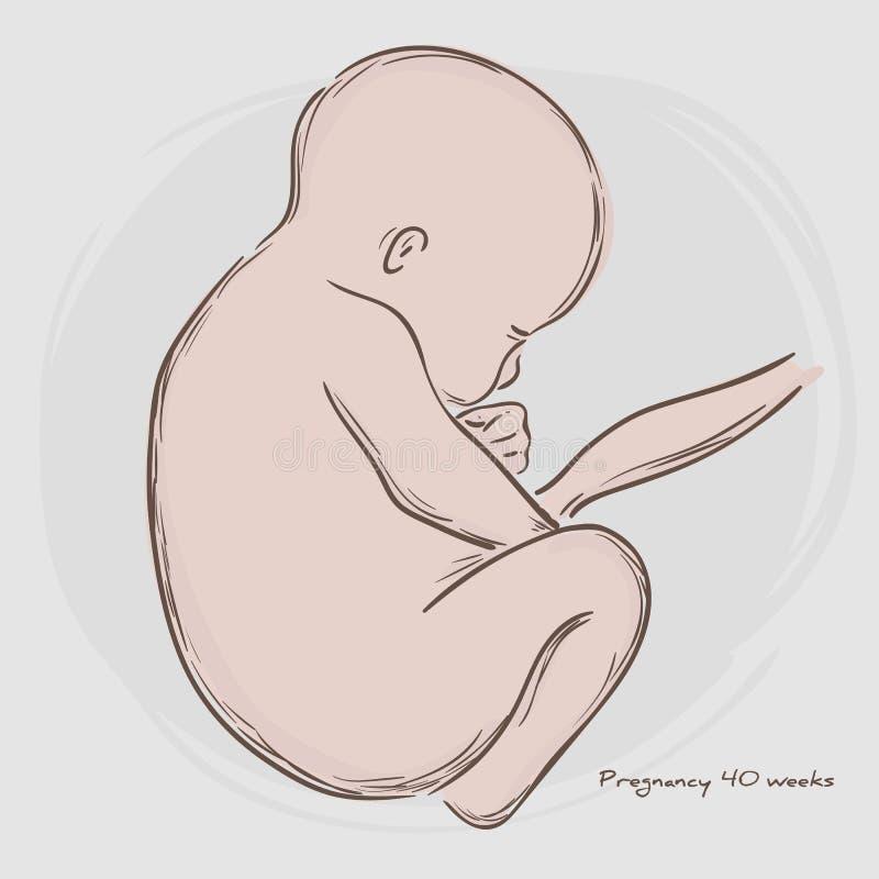 Gravidez Crescimento Fetal da fecundação ilustração stock