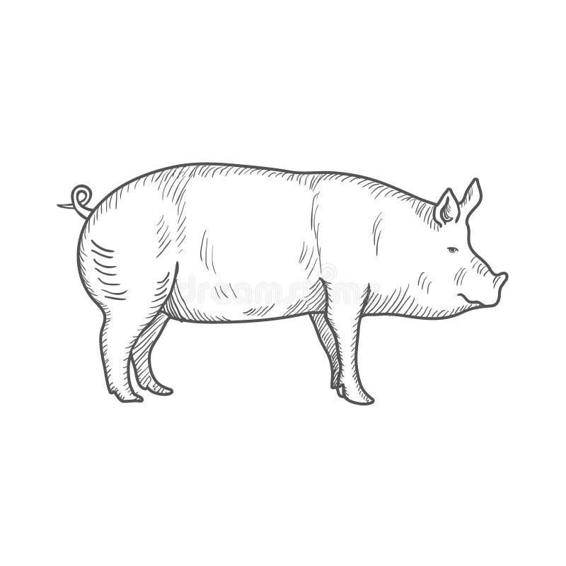 Gravierte Illustration des Schweins Weinlese lokalisiert auf einem weißen Hintergrund Vektor lizenzfreie abbildung
