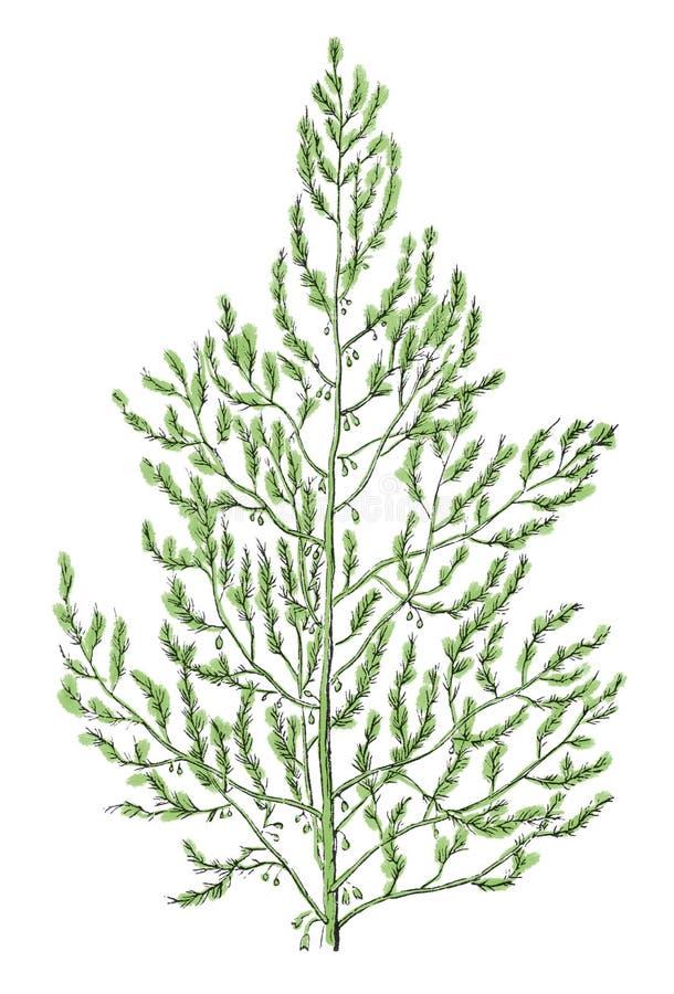 Gravura botânica da antiguidade do ramo do aspargo ilustração royalty free