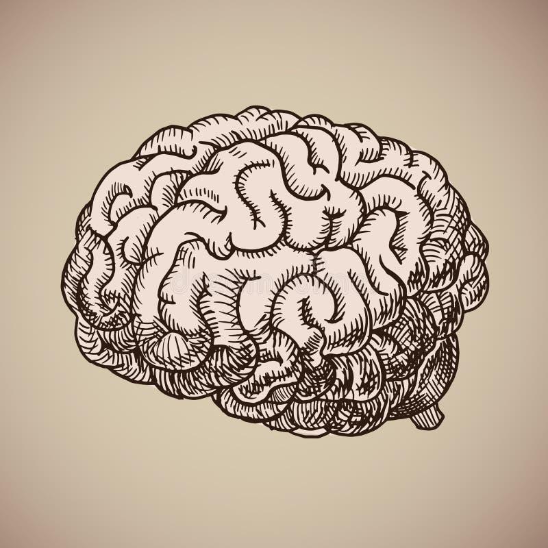Gravura do cérebro Corpo humano cor-de-rosa Ilustração do vetor no estilo do esboço ilustração royalty free