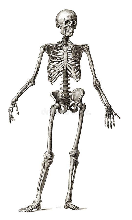 Gravura velha do esqueleto humano ilustração stock