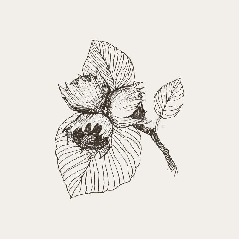 Gravure bosdienoten op witte achtergrond worden geïsoleerd Gedetailleerde vectorillustratie van hand getrokken de herfst eiken no stock illustratie