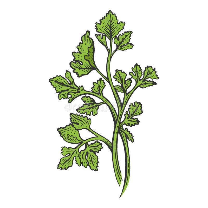 Gravure de croquis de couleur d'herbe de persil de Cilantro illustration de vecteur